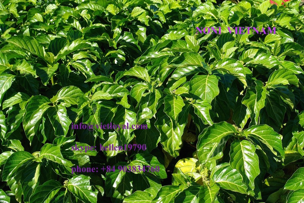 DRIED NONI FRUIT Crinum latifolium HOT SELL NONI