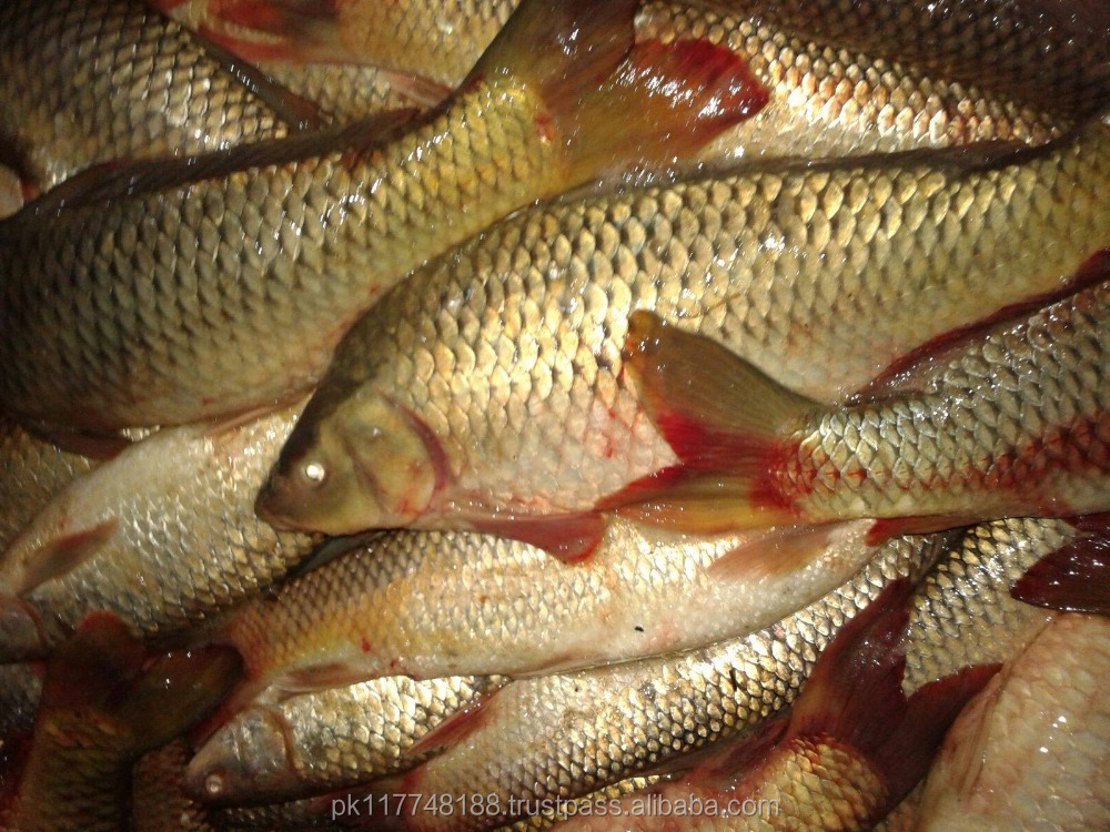 Fresh Common Carp (Fresh Water Fish)