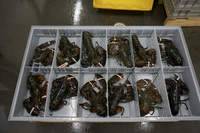 Spiny Lobsters WR Frozen/Live Lobsters / Frozen Lobster for sale