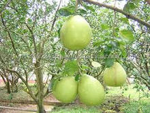 Factory Supply Large Quantity cheapest price frsh green Pomelo