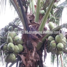 Fresh Famous Thai Aromatic(Namhom) First Class Organic Young Green Coconut USDA Certified