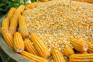 Dried Corn Yellow Maize for Animal Feed