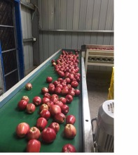 Fresh fruit red fuji apple best price exporter in South Africa