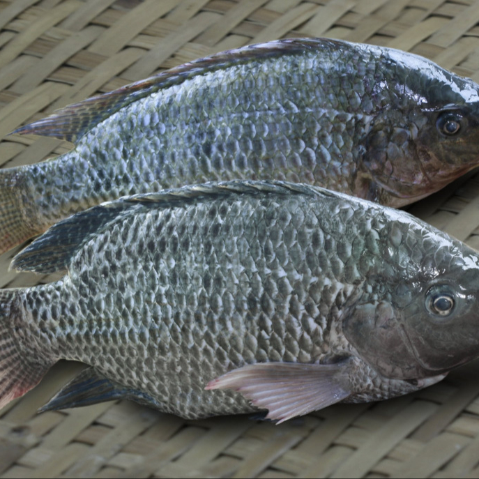 Hot sales price Catfish / Sea Bass ,yellow croaker frozen fish ,Tilapia and frozen baracuda fish