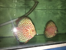 Pigeon Checkerboard Discus Fish