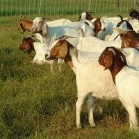 Live well fed Boer Goats, Saanen Goats, Askanian and Anglo-Nubian Goat