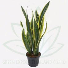Sansevieria trifasciata laurentii - Snake plant - Mother in law's tongue