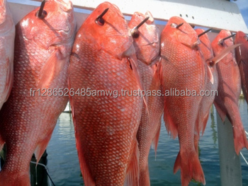 Frozen Red Tilapia Fish For Sale/IQF Frozen Red Snapper/