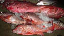 Best Quality IQF Frozen RED Snapper Fish suppliers