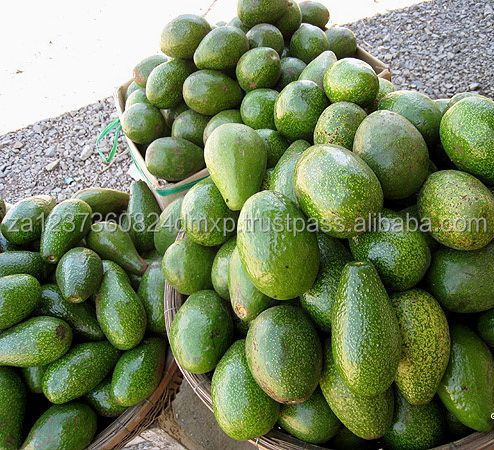 FRESH AVOCADO FROM SOUTH AFRICA - PREMIUM QUALITY FOR SALE