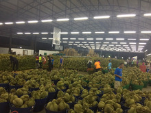 Durian monthong HIGH QUALITY FRESH FRUIT FROM THAILAND