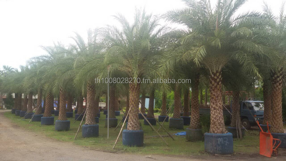 phoneix palm thailand exporting