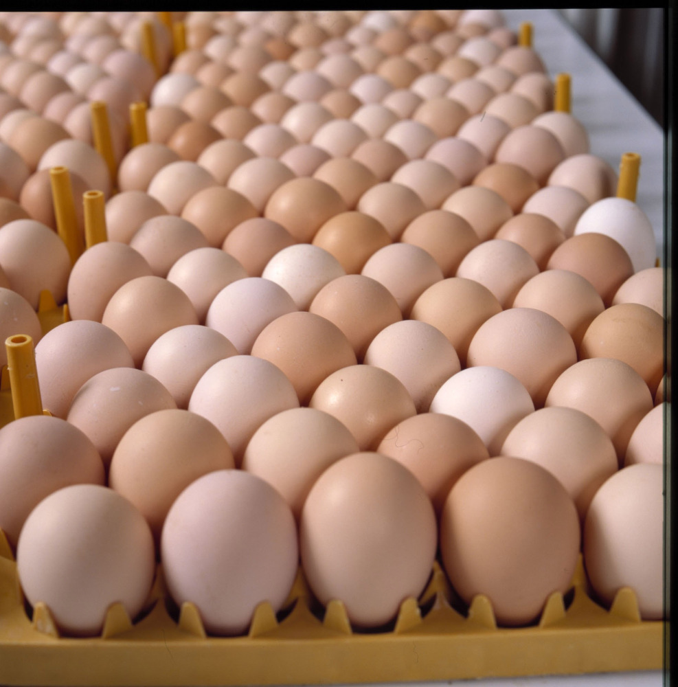 Fresh Chicken Table Eggs , Hatching Eggs , yellow yolks white chicken eggs price in bulk exporters