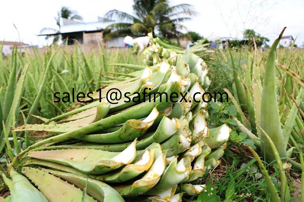 fresh Aloe vera leaves from safimex vietnam (whatsaap: +841665713881)