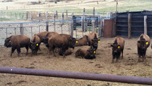cheap live sheep ,live lamb, & Live Goats , & cattle ( steers and cows), calf ( young ) , live buffalo , live camels sales