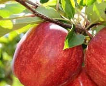 Wholesale Royal Gala Apples From Italy