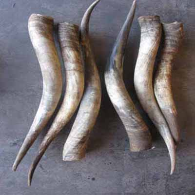 Raw Cow Horns For Sale