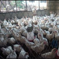 Broiler Chicken/ Live Chicken Available at Wholesale Price