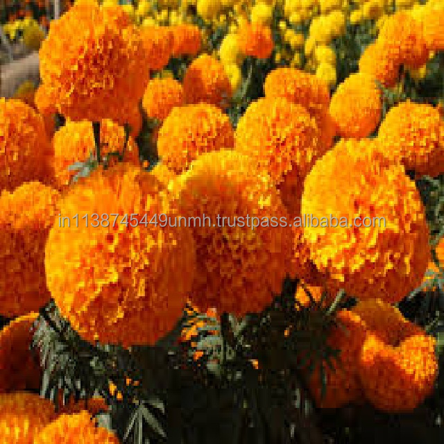 YELLOW MARIGOLD OIL FAST DELIVERY ECONOMICAL PRICE