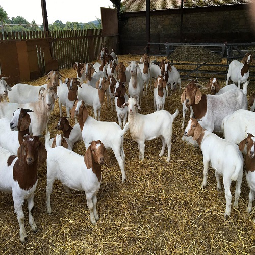 BEST 100% Full Blood Boer Goats, Live Sheep, Cattle, Lambs and Cattle for sale