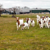 Cow/Boer Goats, Live Sheep, Cattle, Lambs for Sale