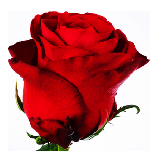 Wholesale Best High Quality Fresh Cut Flower Roses From Kenya