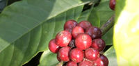 Yummuy 100% New crop arabica cherry green coffee beans,unroasted, Roasted India