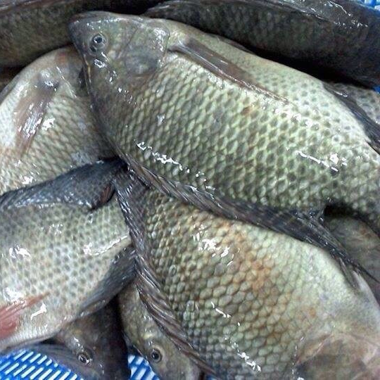 FROZEN WHOLE ROUND BLACK TILAPIA