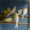 Canary Birds, Yorkshire, Lancashire,Finches, Lovebirds