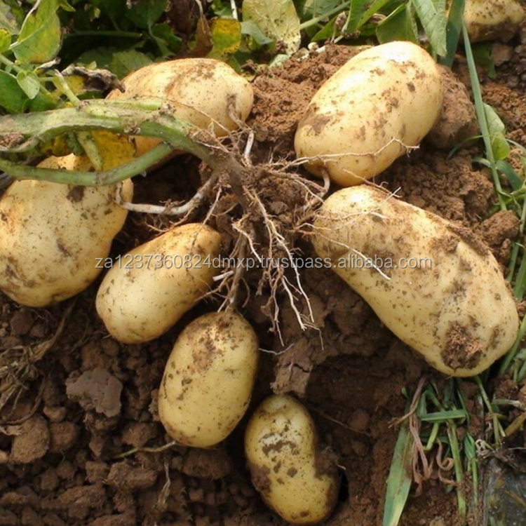 fresh potato for export with low price
