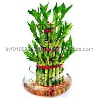 three stalk lucky bamboo