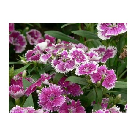 High germination Dianthus Seeds for planting / Dianthus flower Seeds/ Perennial flower seeds