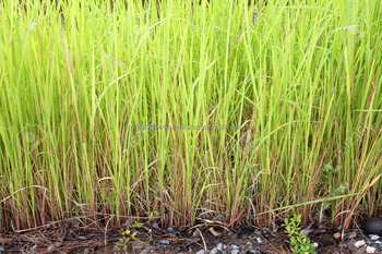 VETIVER OIL TRUSTED SUPPLIER INDIA