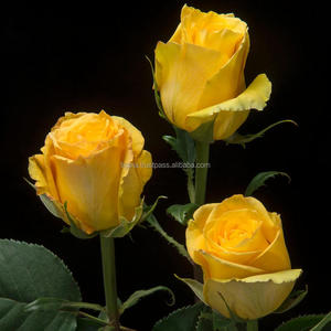 Yellow fresh cut rose flower from Ecuador