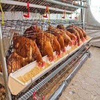 100% Quality best Live Chickens 45 days and 1 day old Cobbs Broiler for sale