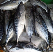 Quality Best Price Yellowfin Tuna , SKipjack Tuna , Bonito Tuna Available in Stock