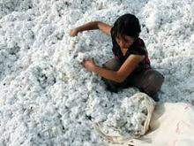 Natural cotton seed attract buyers in Vietnam
