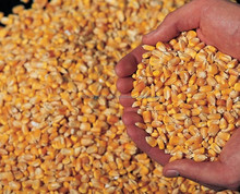 Best Quality Yellow Corn/Maize For Animal Feed