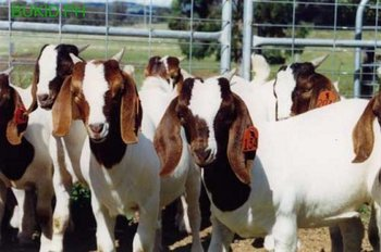 Boer Goat and Holstein Heifers