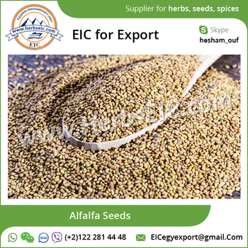 Naturally Grown Alfalfa Seed for Sale at Export Price
