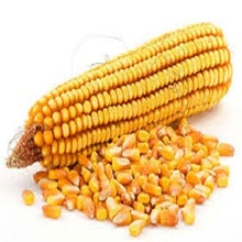 Yellow corn/maize for animal feed philippines