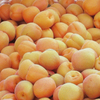Natural Fresh Apricots/Fresh Apricots Fruit for sale