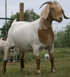LIVE Full Blood Boer Goats, Live Sheep, Cattle, Lambs and Cows Ready for Export