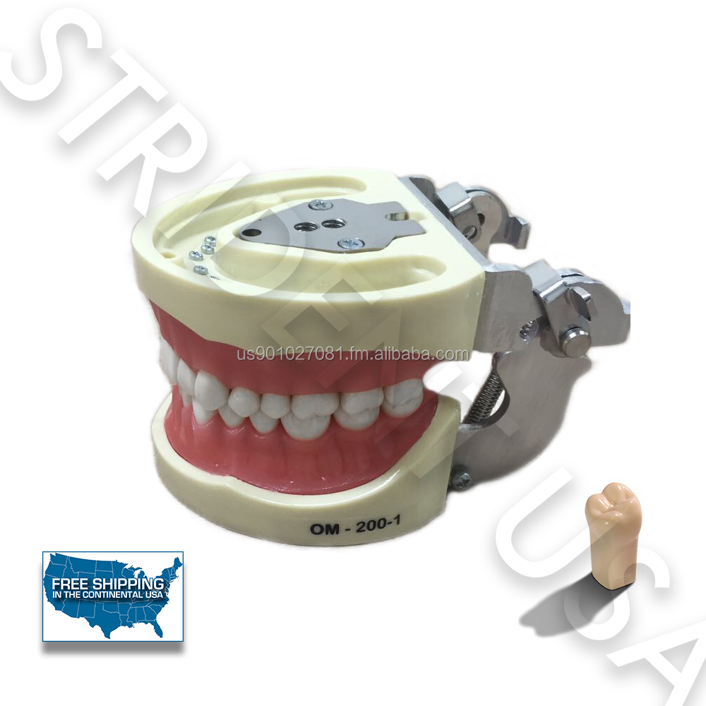 Typodont Dental Model for study with removable teeth.