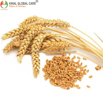Premium Quality Wheat For Human Consumption From India