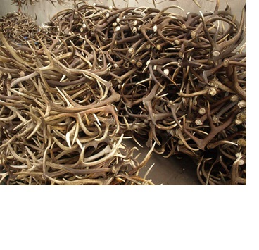 best natural shed whole red deer antlers for sale at good price