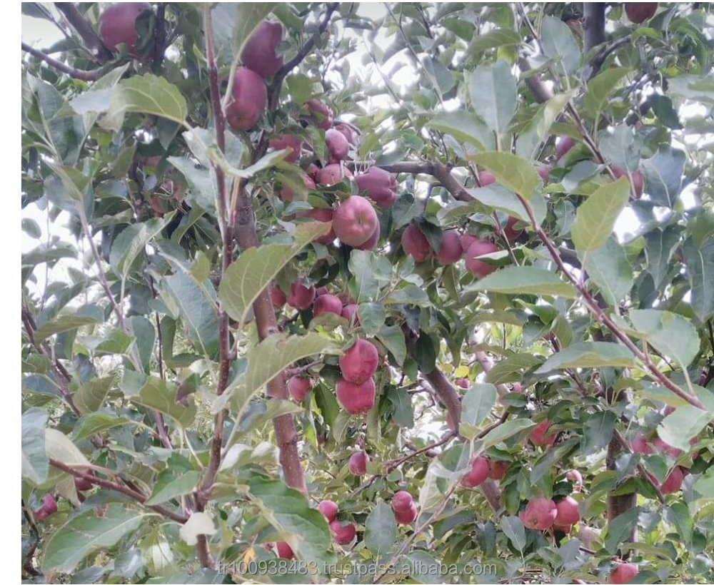 red apples are on tree CURRENT HARVEST