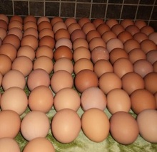 Modest Price Fresh Table Eggs