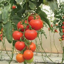 High Yield Hybrid F1 Tomato Seeds