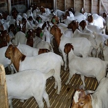 PureBred Boer Goats, Live Sheep, Cattle, Lambs and Cows